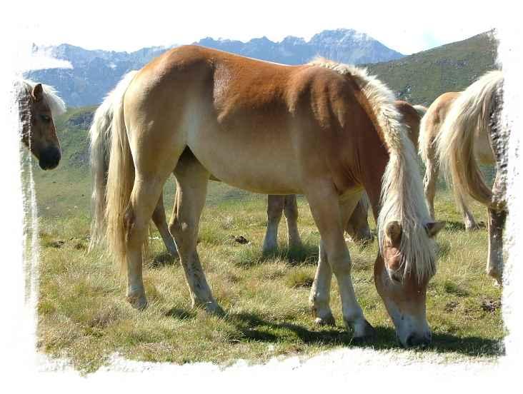 Cavalli in Val Jumela