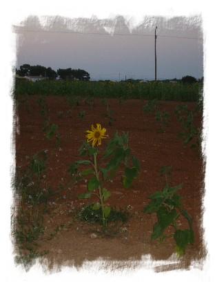Girasole a Formentera - foto di Annalisa Cavagna